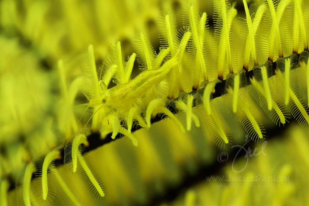 Yellow Shrimp ©2015  Janelle Orth