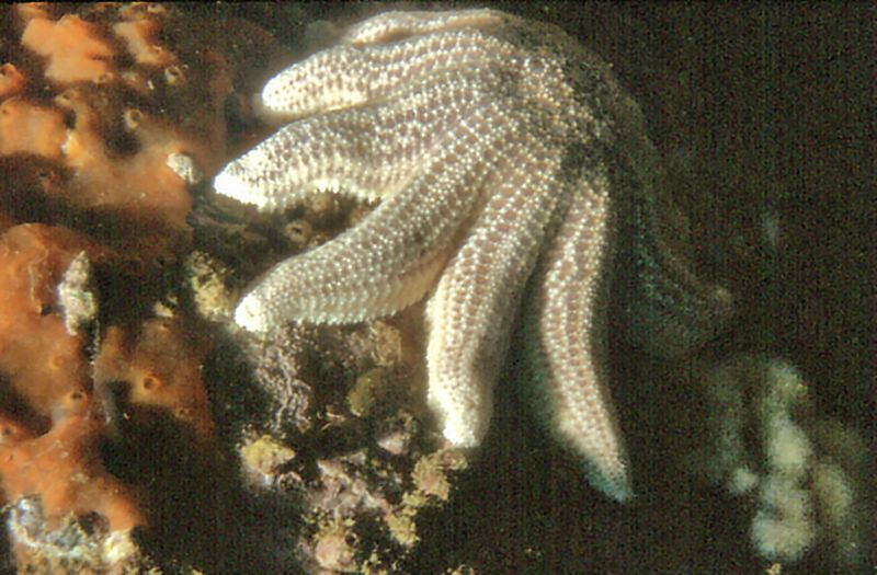 Star fish Whangamata New Zealand - 31 Aug 1981
