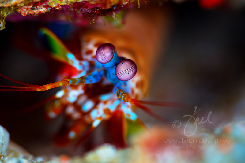 Peacock Mantis Shrimp  ©2017  Janelle Orth