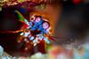 Peacock Mantis Shrimp  ©2017  Janelle Orth