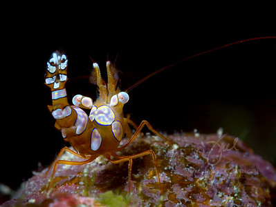 Squat Shrimp 1  ©2015 Janelle Orth