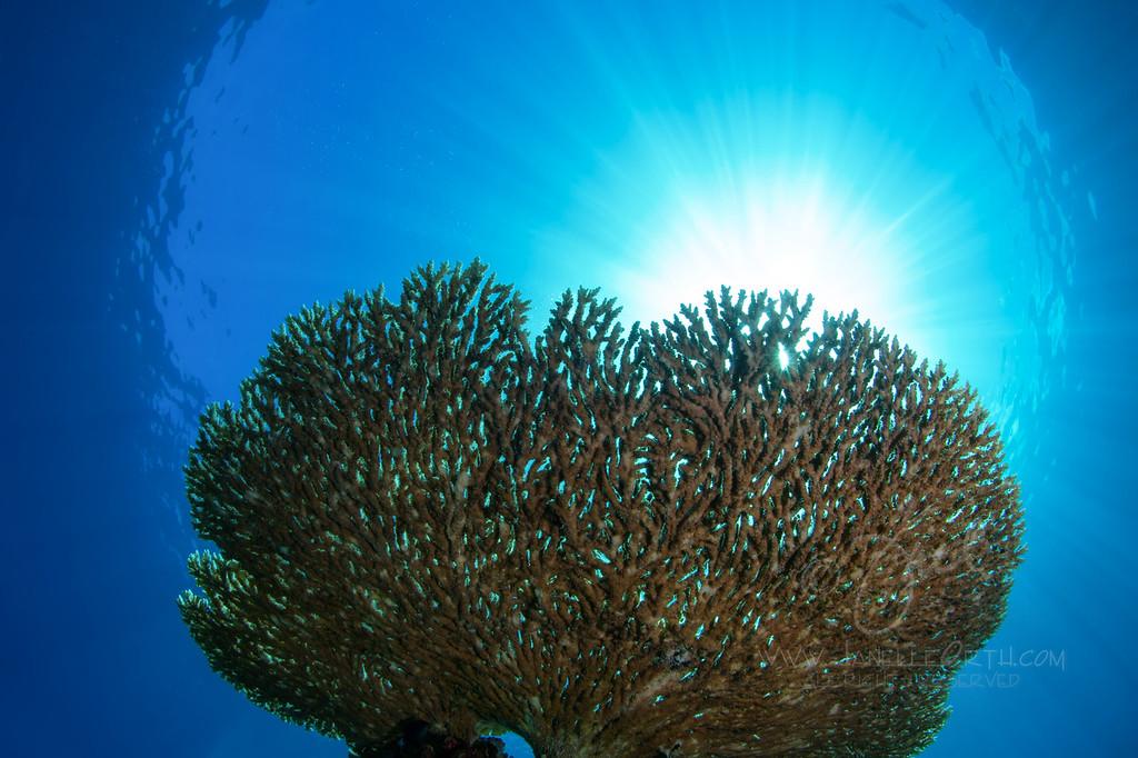 Sunburst Coral ©2013 Janelle Orth