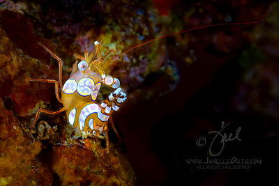 Squat Shrimp 2  ©2015 Janelle Orth