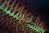 Crinoid Shrimp   ©2018  Janelle Orth