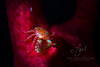 Porcelain Crab on Gorgonian  ©2018  Janelle Orth