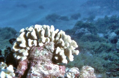 Corals Off the coast of Oahu Hawaii - Nov 1981