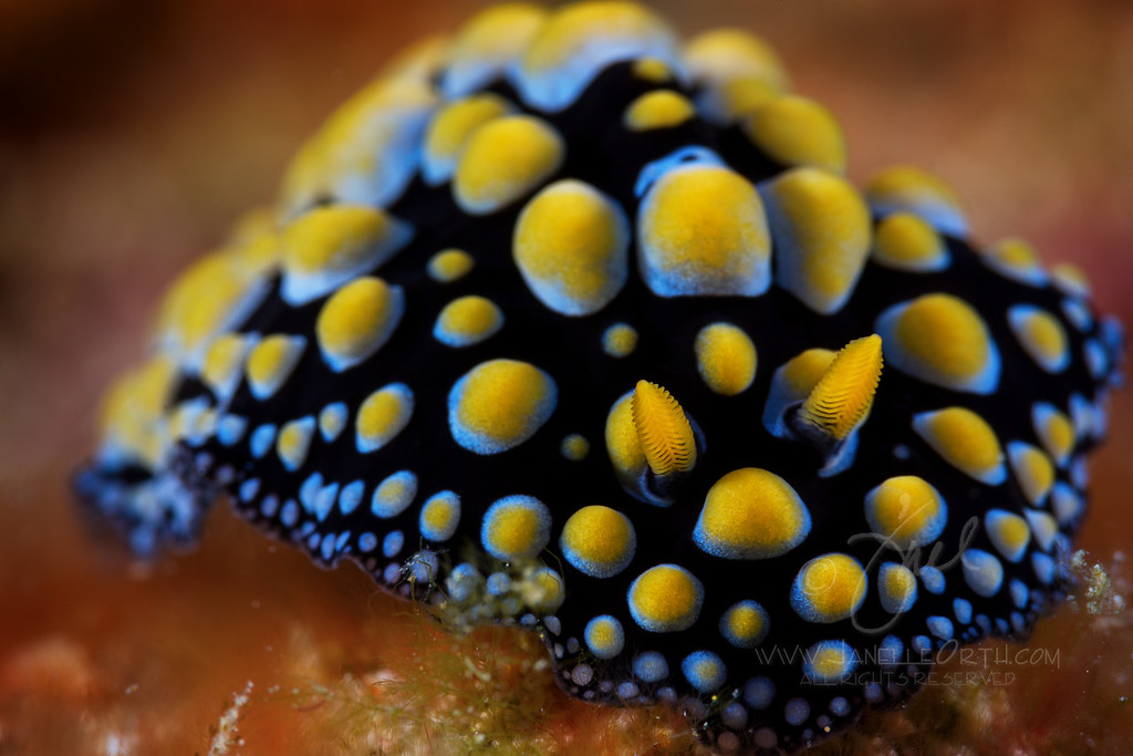 Nudibranch ©2015 Janelle Orth