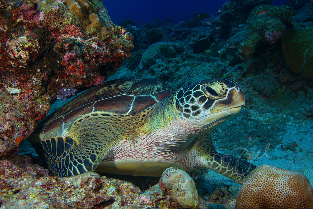 Green Turtle ©2014 Janelle Orth