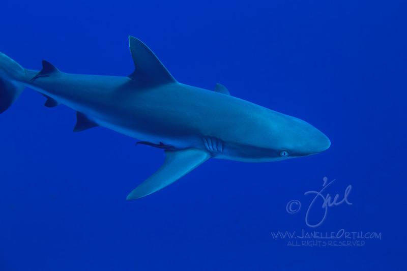 Grey Reef Shark ©2014 Janelle Orth