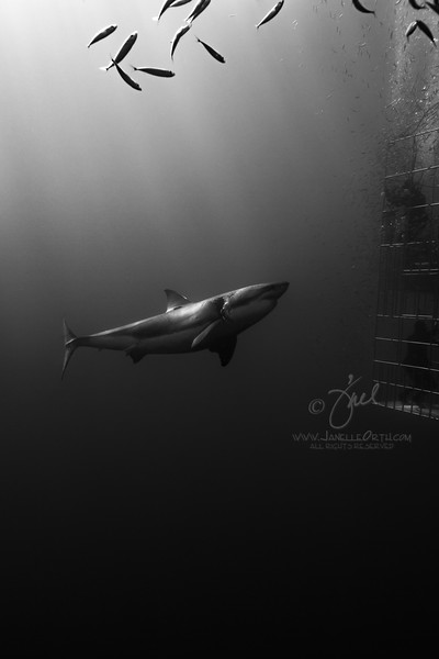 Great White Shark of Guadalupe Island, Mexico September 2016