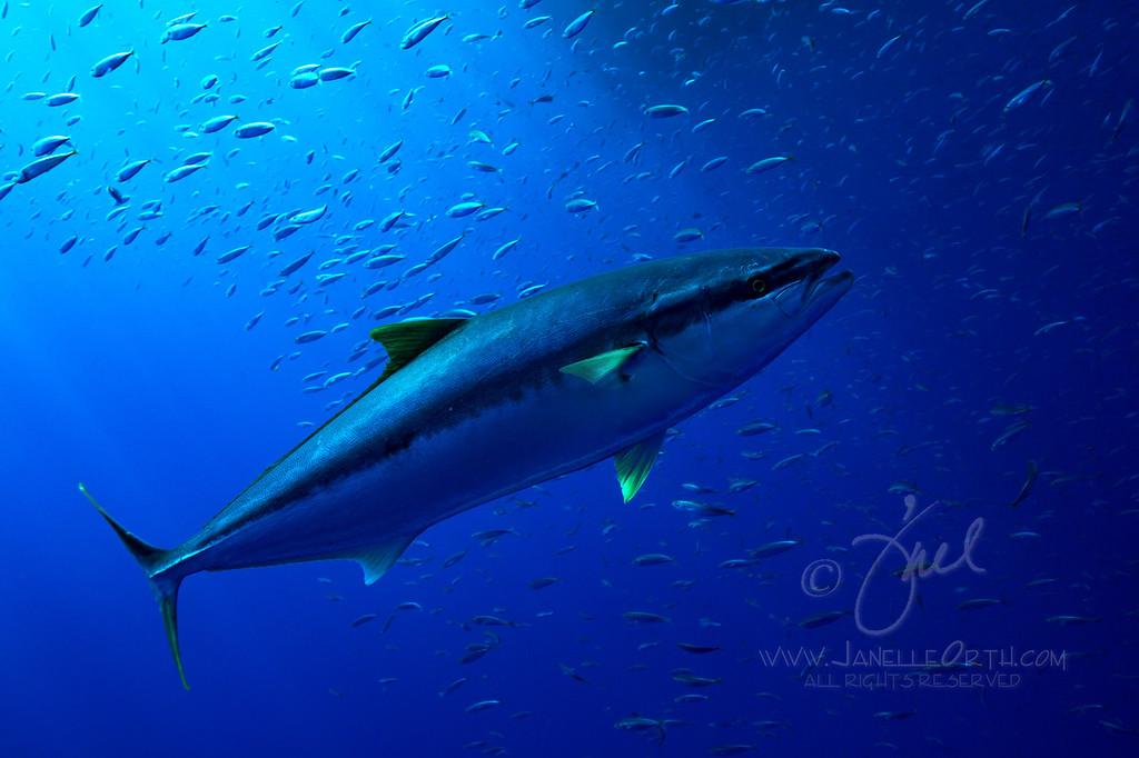 Tuna Surprise  ©2016  Janelle Orth