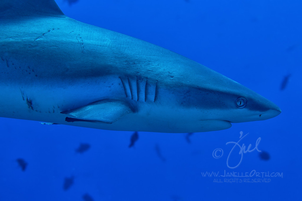 Grey Reef Shark ©2014 Janelle Orth