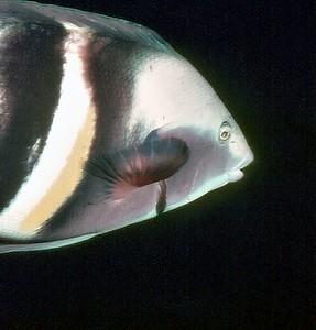Sandanger parrot fish The Poor Knights New Zealand - 13 Feb 1981