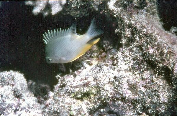 Reef fish Beachcomber reef Fiji - Dec 1981