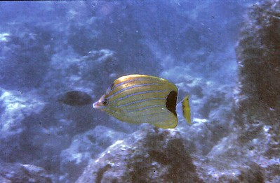 Butterfly fish Hanauma Bay Oahu Hawaii - Nov 1981
