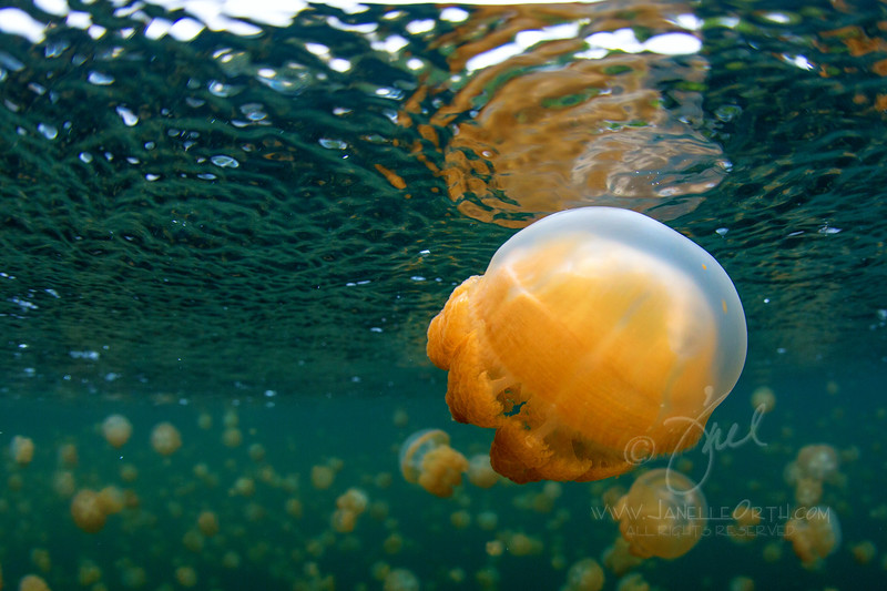 Golden Jelly ©2013 Janelle Orth