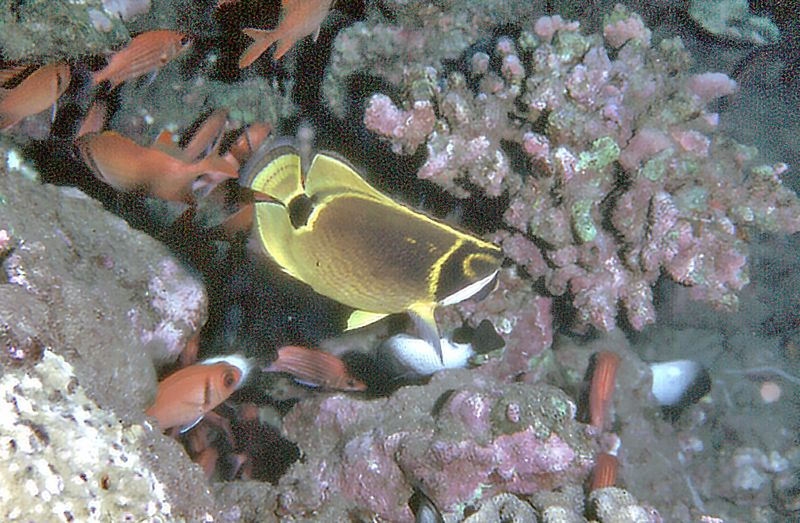 Butterfly fish Off the coast of Oahu Hawaii - Nov 1981