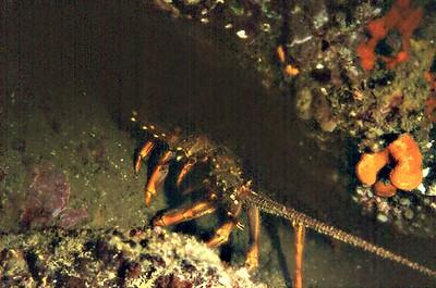 Crayfish Whangamata New Zealand - 31 Aug 1981