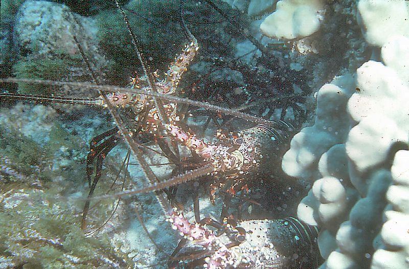 Crayfish Off the coast of Oahu Hawaii - Nov 1981