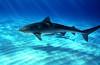 Tiger Shark ©2006 Janelle Orth