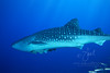 Whale Shark in the Andaman Sea at Similan Islands off the coast of Thailand