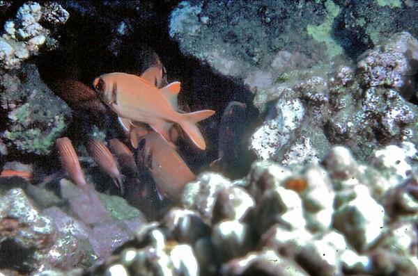 Reef fish Off the coast of Oahu Hawaii - Nov 1981