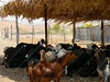 UAE - Hajjar Mountains - MaHDa oasis - goats