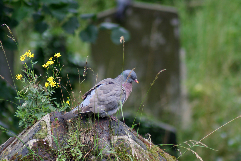 Brompton Cemetery: pigeon with wildflowers on the cemetery wall.