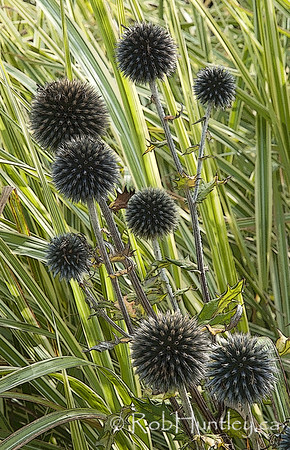 Popping Thistles, Waterperry Gardens