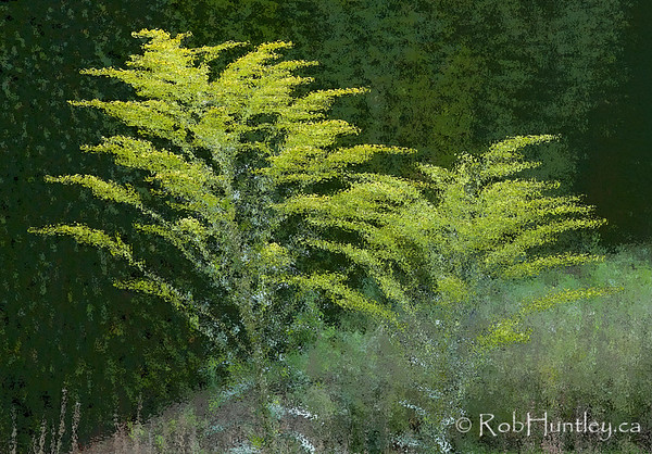 Goldenrod Beside a Hedge, Waterperry Gardens