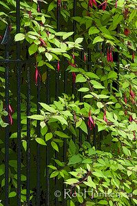 Fuchsias through a Gate, Lost Gardens of Heligan, UK.  © Rob Huntley