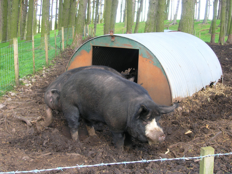 Big Pig!