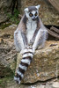 Ring-tailed Lemur Basking in the Sun