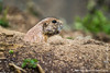 Black-tailed Prairie Dog Making an Alarm Cry