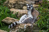 Ring-tailed Lemur Basking in the Sun