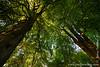 Trees at Wayland's Smithy
