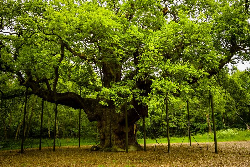 The Major Oak, Sherwood Forest, Nottingham, England