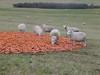 Sheep at Rutland Water