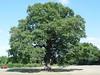 Hanley Swan Oak
