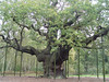 The Major Oak is probably the oldest surviving Oak growing in Sherwood Forest. It's estimated to be over 800 years old.