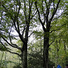 Hyning Wood<br /> Beech
