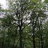Hyning Wood <br /> Beech