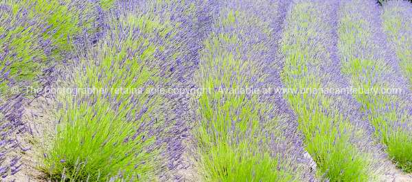 Rows of green and purple lavender plants