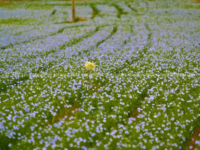"Field of Flowers. SEE ALSO:   <a href=""http://www.blurb.com/b/893070-impressions-of-the-uk"">http://www.blurb.com/b/893070-impressions-of-the-uk</a>"