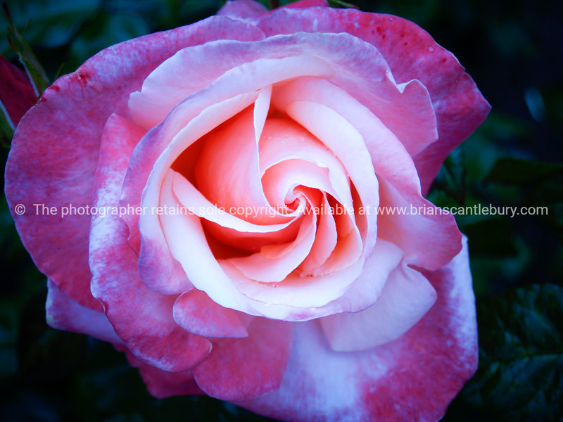"""Pink Rose, close-up. SEE ALSO:   <a href=""""http://www.blurb.com/b/893070-impressions-of-the-uk"""">http://www.blurb.com/b/893070-impressions-of-the-uk</a>"""