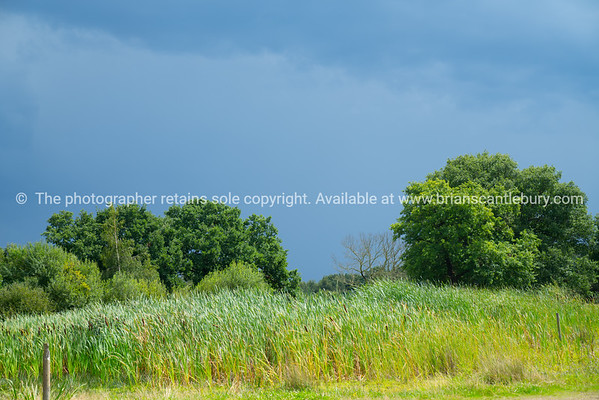 Bull rushes on edge of swamp with deep green trees behind under dark cloudy sky.