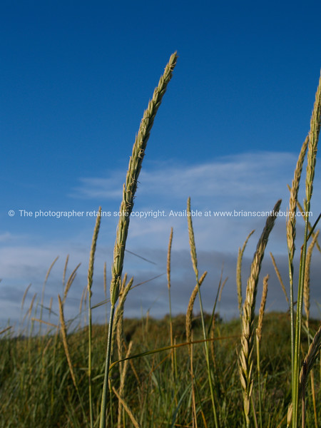 """Grass seed heads against blue sky. SEE ALSO:   <a href=""""http://www.blurb.com/b/893070-impressions-of-the-uk"""">http://www.blurb.com/b/893070-impressions-of-the-uk</a>"""