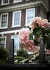 "Pink camellias noticed along ""Birdcage Walk"" in London<br /> <br /> Image by Martin McKenzie ~ All Rights Reserved"