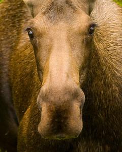 road moose