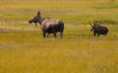 moose & calf